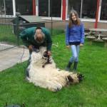 De schapen zijn geschoren