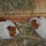 Nieuwe kippen en afscheid van konijn Angel