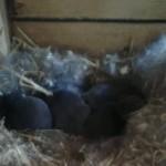 Zeven konijntjes erbij