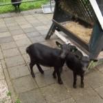 Nieuw in de dierenweide: Sabine en Janine
