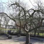 Fruitbomen gesnoeid