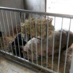 Dieren al thuis in de nieuwe stal