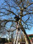 Bomen gesnoeid; nieuwe boom geplant