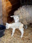 Lammetje geboren