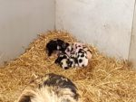 Vijf biggetjes geboren